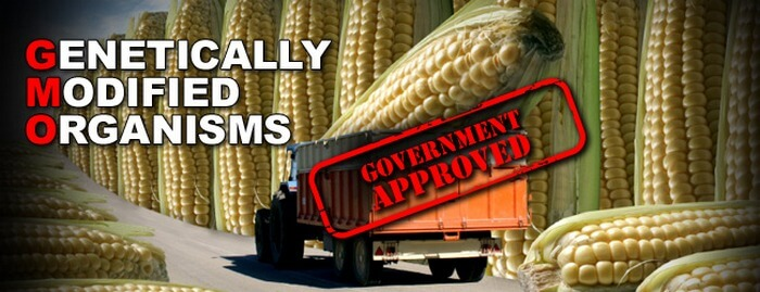 gmo-government-approved-giant-corn