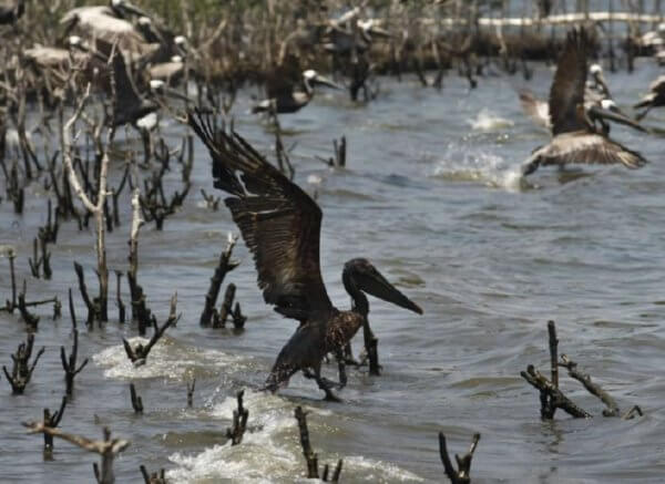 oil-soaked pelican bp oil spill