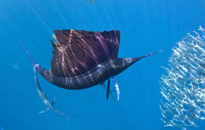 sailfish-adult