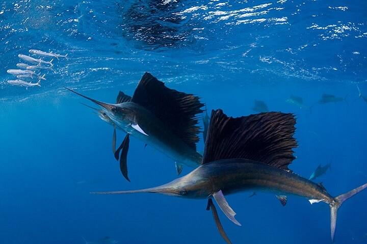 Atlantic sailfish, Istiophorus albicans hunting sardines